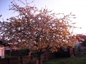 Kirschbaum bei Sonnenaufgang