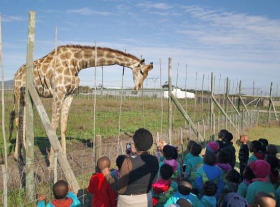 Giraffe, Stellenbosch, Sophie