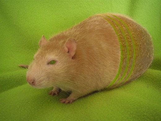 Kiwi-Ratte
